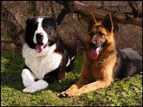 Алабай и немецкая овчарка на одном фото