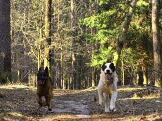 Немецкая овчарка и алабай бегают по лесу