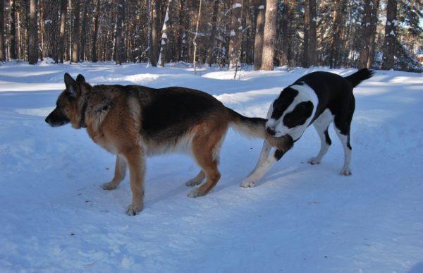 Алабай и немецкая овчарка играют вместе