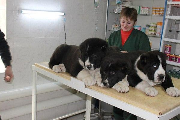 Прививки для щенков алабая