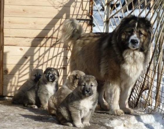 Щенки смеси алабая и кавказской овчарки с мамой