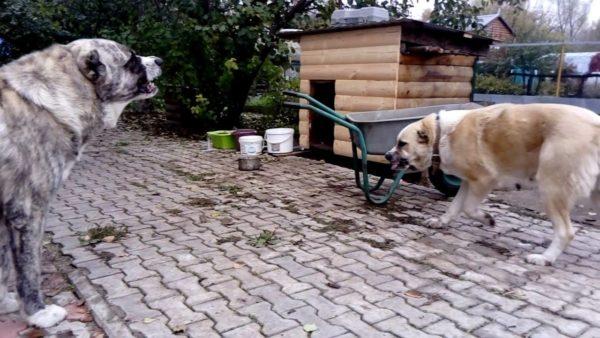 Сука алабая отгоняет кобеля