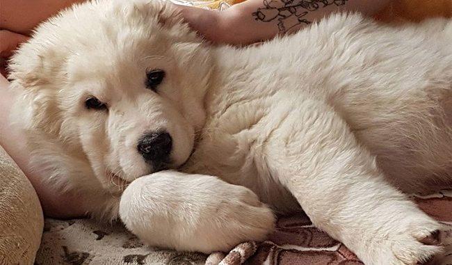 Очень красивый щенок алабая