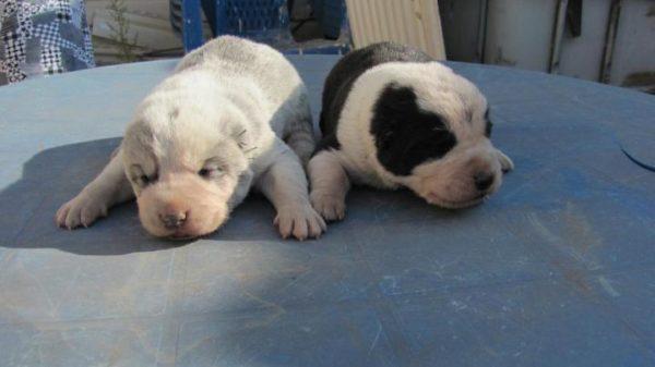 Новорожденные щенки среднеазиатской овчарки
