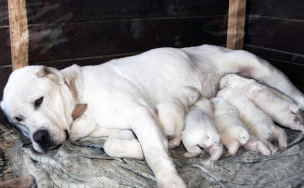 Алабай кормит своих новорожденных щенков