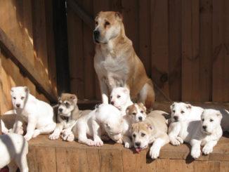 Алабай и его щенки