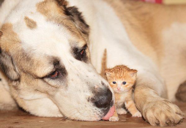 Алабай заботиться о котенке