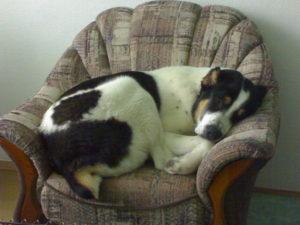 Алабай спит в кресле
