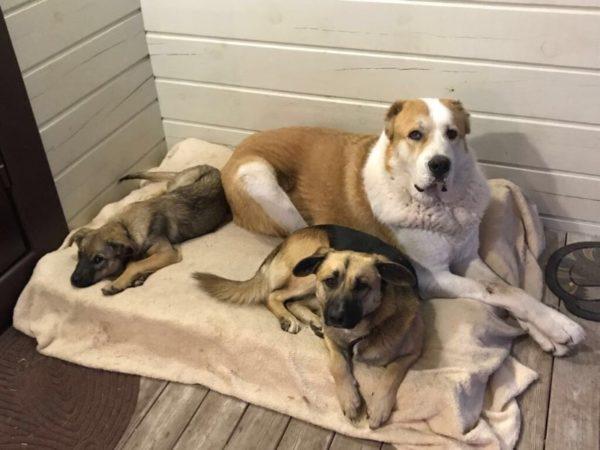 Алабай с другими собаками на лежанке